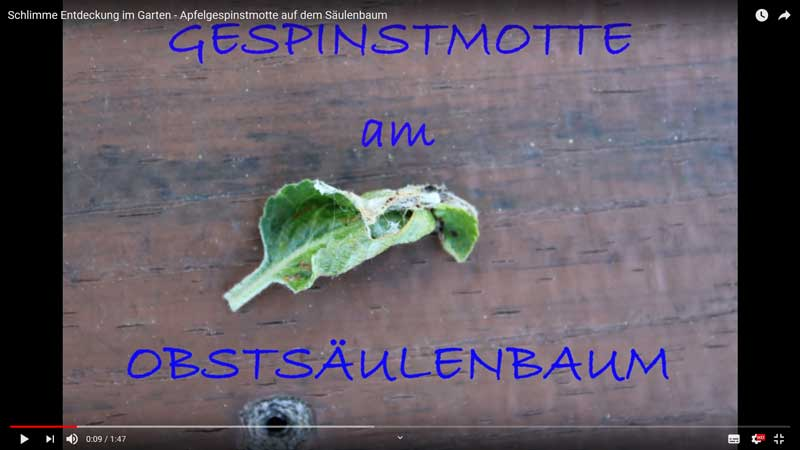 video apfelgespinstmotte
